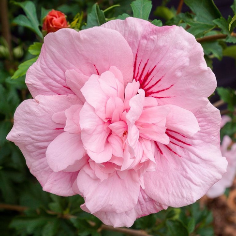 Гибискус сирийский Hibiscussyriacus Pink chiffon