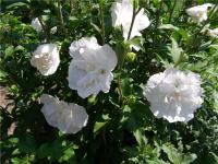 Гибискус сирийский Hibiscussyriacus White chiffon